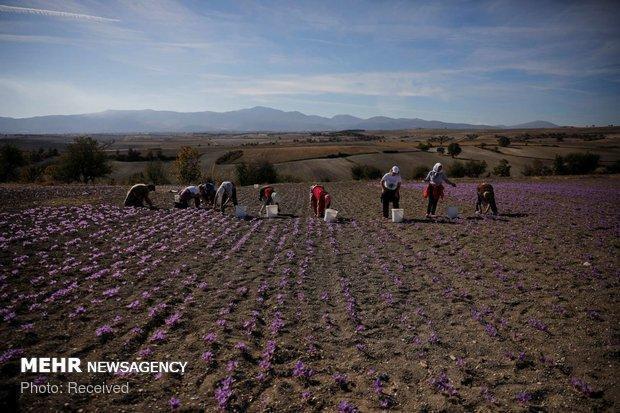 فراوری 92درصدی زعفران دنیا توسط ایران، خام فروشی380میلیون دلاری